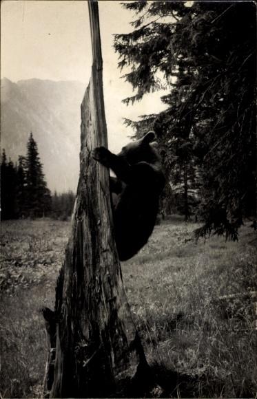 Foto Ak Junger Braunbär klettert an einem Baumstamm, Partie am Waldrand, Berge