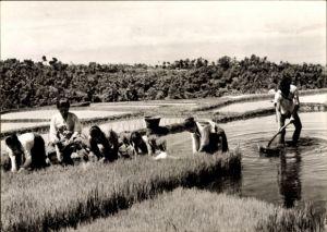Ak Indonesien, Indonesische Reisbauern bei der Arbeit