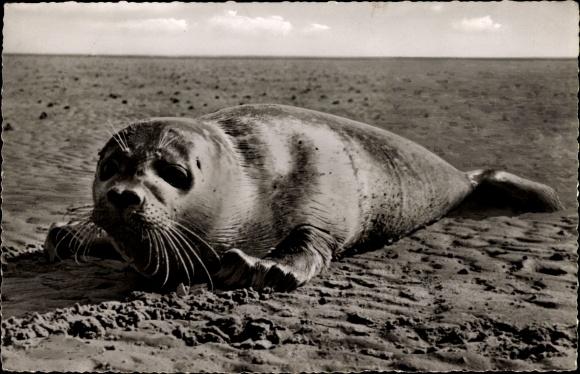 Ak Junger Seehund am Strand von Norderney, Robbe