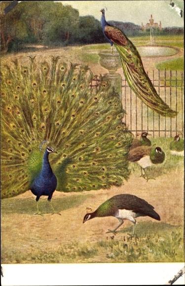 Künstler Ak Meinholds Tierbild Nr. 49, Pfau mit aufgestelltem Rad, Pfauenweibchen