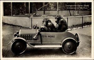 Ak Bâle Basel Stadt Schweiz, Zoologischer Garten, Schimpansen im Auto der Steyr Werke