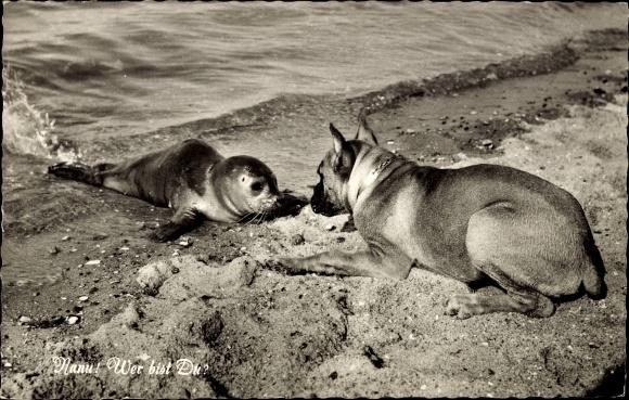 Ak Junge Robbe und Boxer Hund, Seltsame Begegnung am Strand