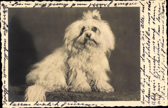 Foto Ak Schoßhund, Weißes Fell, Langhaar, Haarschleife