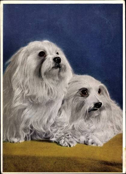 Ak Zwei Malteser Hunde, Rassehunde, Weißes Fell, Langhaar, Hundeportrait
