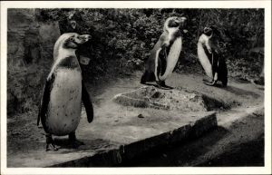 Ak Pinguine des Versandhauses Nordland in Osnabrücke