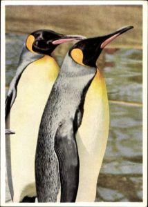 Ak Cannstatt Stuttgart in Baden Württemberg, Tier- und Pflanzenparadies Wilhelma, Pinguine