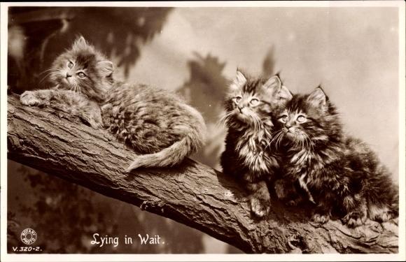 Ak Lying in the Wait, drei kleine getigerte Katzen mit langem Fell auf einem Ast