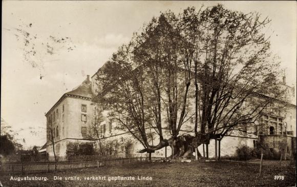 Ak Augustusburg im Erzgebirge, Die uralte verkehrt gepflanzte Linde