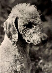 Ak Hundeportrait von einem Bedlington Terrier, Schnauze