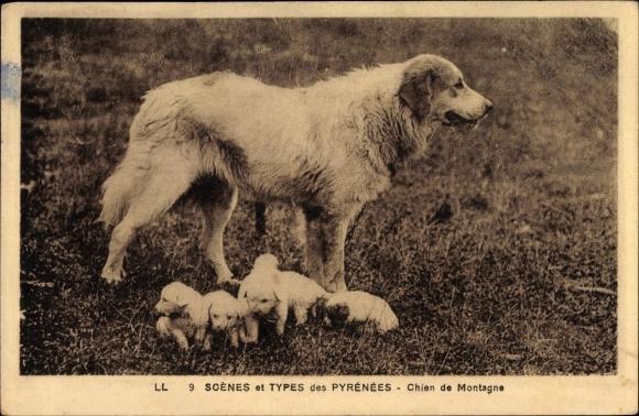 Ak Scenes et Types des Pyrenées, Chien de Montagne, Pyrenäenberghund, Hündin mit Welpen