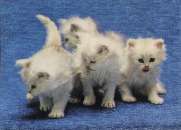 3 D Ak Kittens, Hauskatzen, Kätzchen, Katzenkinder, Weißes Fell, Langhaar