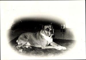 Foto Liegender Boxer Hund, Portrait, Rassehund