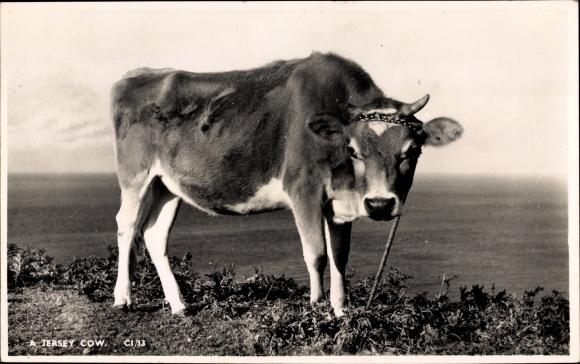 Ak Jersey Cow, Blick auf eine angeleinte Kuh auf einer Wiese