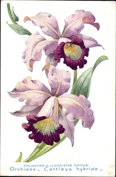 Künstler Ak Orchidée, Cattleya hybride, Orchidee