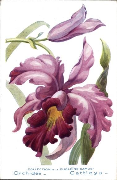 Künstler Ak Orchidée, Cattleya, Orchidee