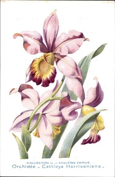 Künstler Ak Orchidée, Cattleya Harrisoniana, Orchidee