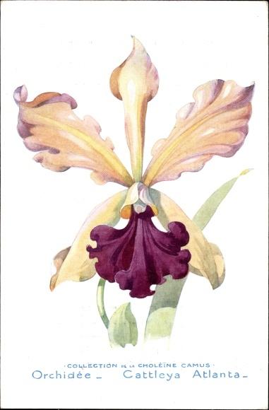 Künstler Ak Orchidée, Cattleya Atlanta, Orchidee