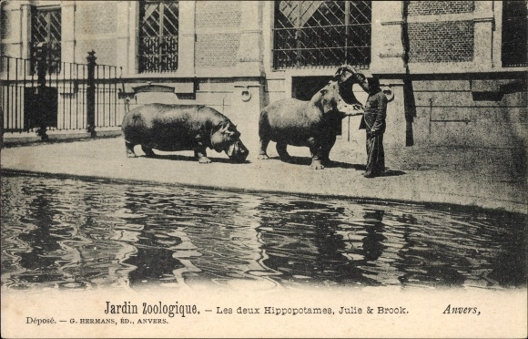Ak Antwerpen Anvers Flandern, Zoologischer Garten, Jardin Zoologique, Hippopotames, Julie, Brook