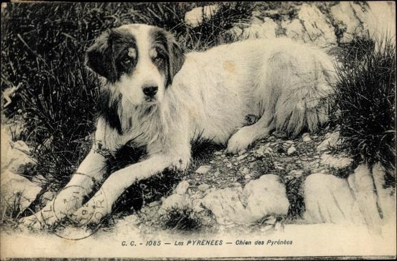 Ak Les Pyrenees, Chien de Montagne des Pyrenees, Pyrenäenberghund, liegend