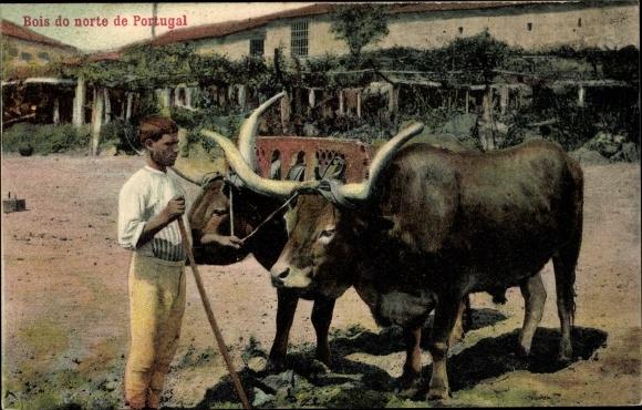 Ak Portugal, Bois do norte, Zwei Rinder, Arbeitstiere