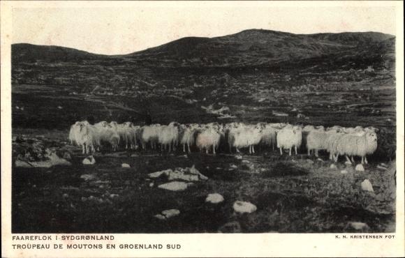 Ak Grönland, Faareflok i Sydgronland, Schafherde