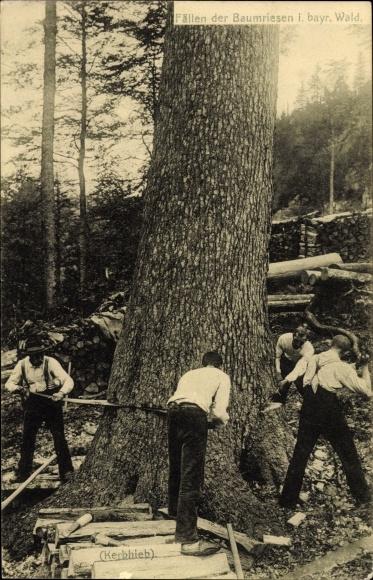 Ak Fällen der Baumriesen im bayerischen Wald, Kerbhieb, Säge