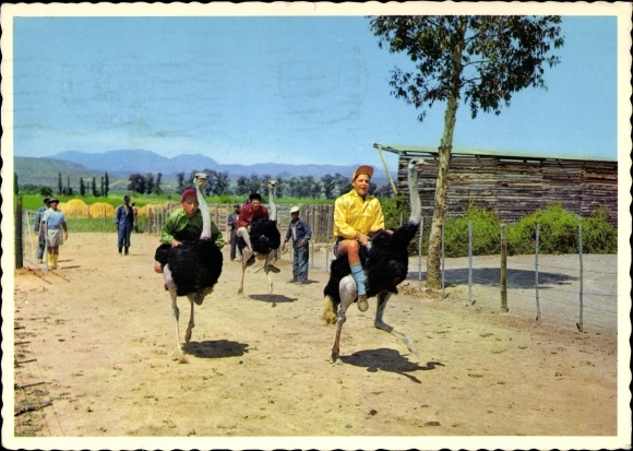 Ak Oudtshoorn Plettenberg Bay Südafrika, Straußenrennen auf einer Straußenfarm