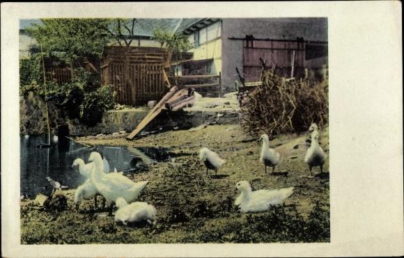 Ak Enten an einem Tümpel auf einem Bauernhof