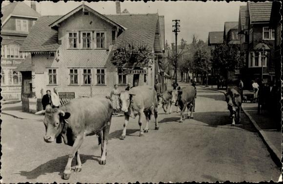 Ak Oberhof im Thüringer Wald, Teilansicht vom Ort, Straßenpartie, Kühe
