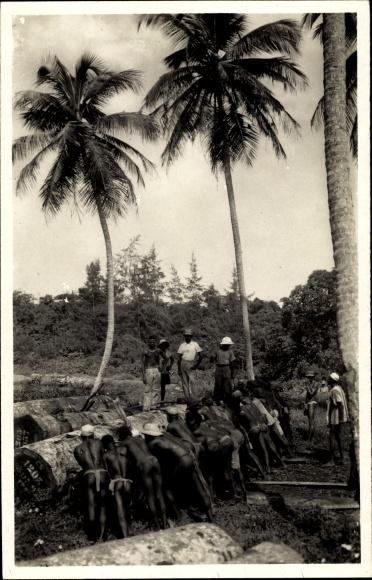 Ak Elfenbeinküste, Exploitation Forestière, Afrikaner mit gefällten Bäumen, Forstwirtschaft