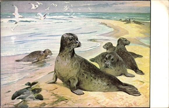 Künstler Ak Seehunde am Strand, Robben, Meinholds Tierbilder