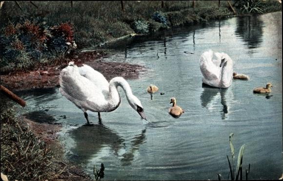 Ak Zwei Schwäne mit Küken am Wasserufer