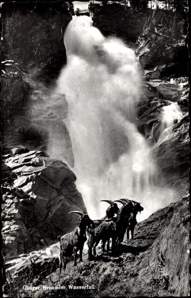 Ak Oberer Krimmler Wasserfall, Ziegen an einer Bergwand, Steinböcke