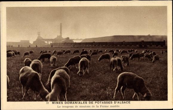 Ak Mines de Potasse d'Alsace, Le troupeau de moutons de la ferme modèle, Schafherde, Bergwerk
