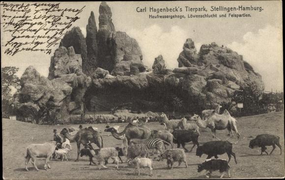 Ak Hamburg Eimsbüttel Stellingen, Carl Hagenbeck's Tierpark, Heufressergehege, Löwenschlucht, Kamele 0