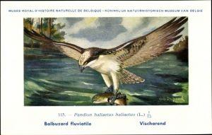 Künstler Ak Dupond, Hub., Pandion haliaetus haliaetus, Balbuzard fluviatile, Vischarend, Fischadler