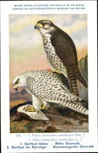 Künstler Ak Dupond, Hub., Falco rusticolus candicans, Gerfaut blanc, Gerfalke