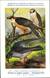 Künstler Ak Dupond, Hub., Falco vespertinus, Faucon à pattes rouges, Rotfußfalke