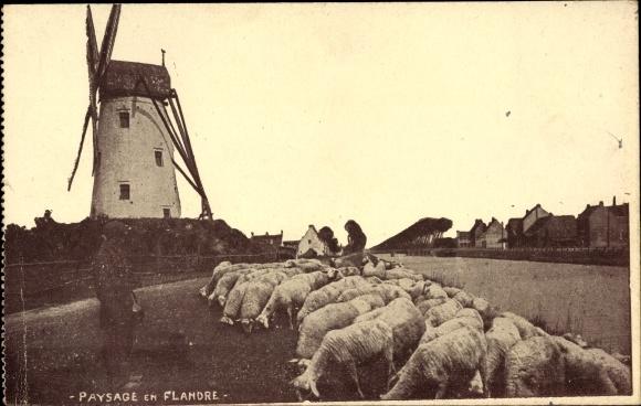 Ak Belgien, Paysage en Flandre, Schafherde vor einer Windmühle