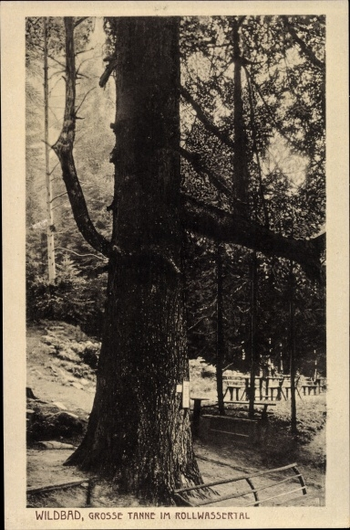 Ak Bad Wildbad Baden Württemberg, Große Tanne im Rollwassertal, 400 Jahre alt
