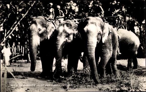 Ak Sri Lanka Ceylon, Wild Elephants, just captured, Einheimische mit gefangenen wilden Elefanten