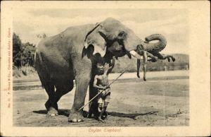 Ak Ceylon Sri Lanka, Elefant mit Mahut, Mann liegt auf einem Stoßzahn