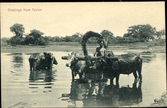 Ak Ceylon Sri Lanka, Farmer with Cows, Bauer mit Viehgespann
