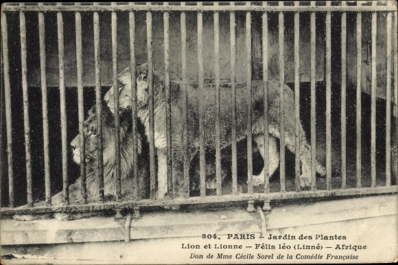 Ak Paris, Lion et Lionne, Jardin des Plantes, Löwe, Löwin, Käfig