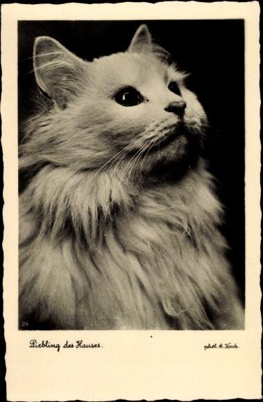 Ak Liebling des Hauses, Katzenportrait, weiße Katze mit langem Fell