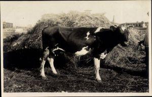 Foto Ak Kuh vor einem Strohhaufen, Misthaufen, Rind, Viehzucht