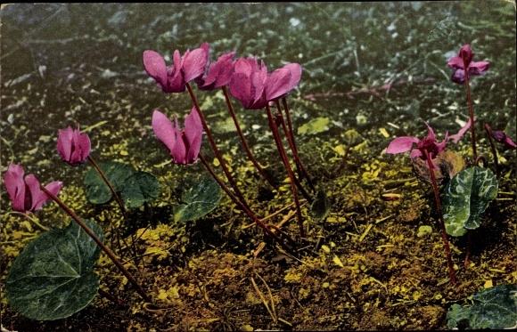 Ak Alpenflora, Cyclamen europaeum, Alpenveilchen, Nenke und Ostermaier 522 Nr. 943