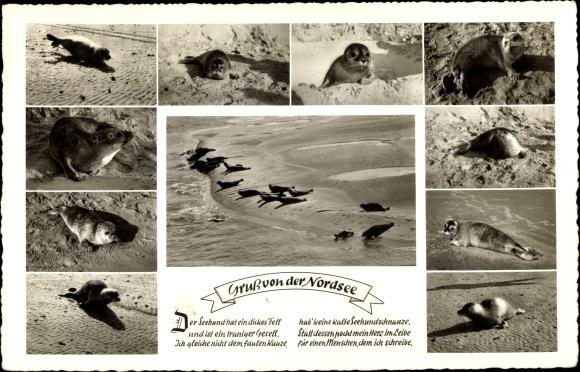 Ak Gruß von der Nordsee, Robben am Strand, Seehunde, Meerpartie