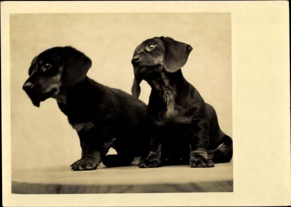 Ak Zwei kleine Dackelwelpen, Hundeportrait