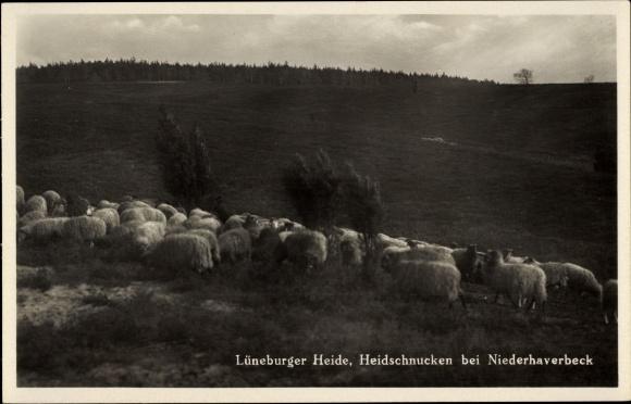 Ak Niederhaverbeck Bispingen in der Lüneburger Heide, Heidschnucken, Schafherde